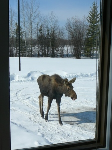 "A picture of our ""pet"" moose...taken out our front window"